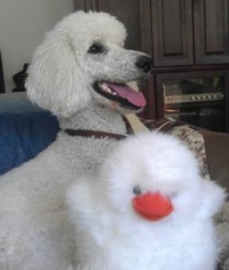 Fluffy white poodle, happy with fluffy white toy