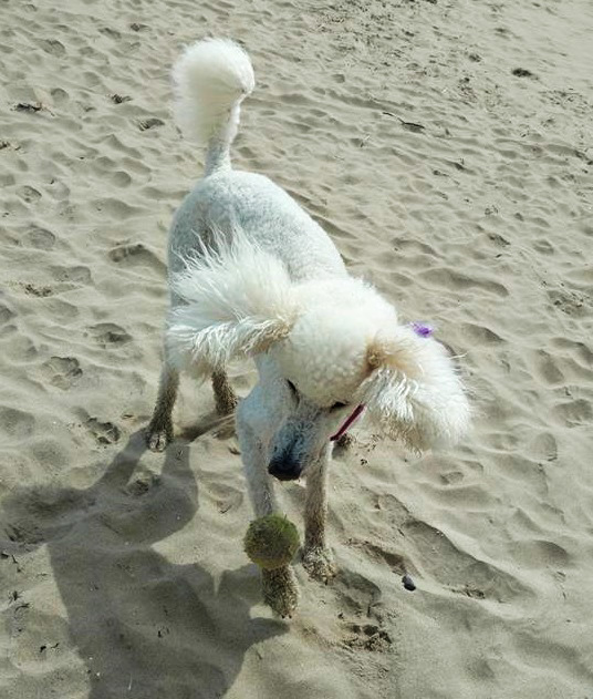 Poodle with her ball at the beach.