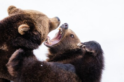 In a metaphor for work conflicts, bears display their teeth aggressively at each other
